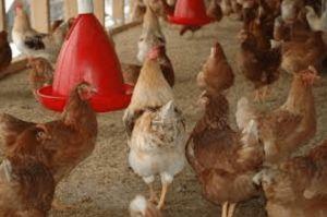 Usaha Ternak Ayam yang Menguntungkan di Tahun Ini  Alasan Kenapa Harus Berbisnis Peternakan Ayam. Beternak ayam merupakan sebuah usaha yang potensial bahkan menjadi incaran bagi wirausaha. Kok sampai segitunya, memangnya apa saja yang menjadi sebuah alasan dari wirausaha memilih beternak ayam sebagai usaha.  Jenis unggas yang satu ini memang menjadi salah satu komoditas terbesar dalam dunia ternak dan hasilnya sangat dibutuhkan masyarakat. Ayam memiliki tingkat permintaan yang sangat tinggi…
