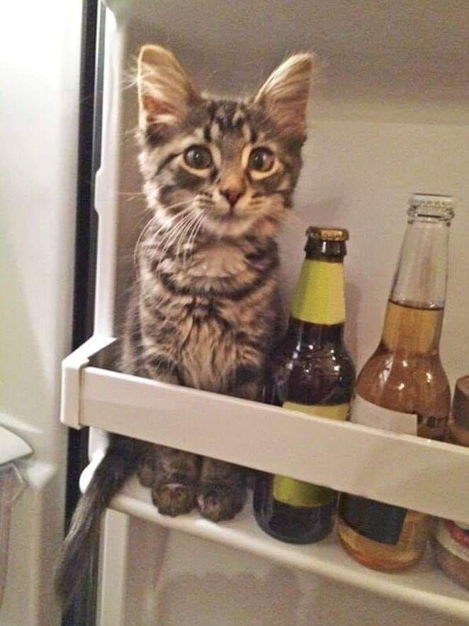 Gatito Para Llamar Tu Atencion Humano Borracho Cats Funny Animal Pictures Cute Animals