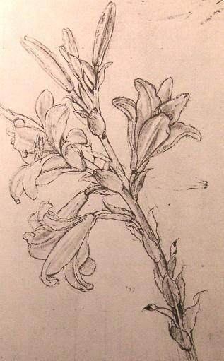 Leonardo Da Vinci-zeichnung von lilien für  ein  Verkündigung