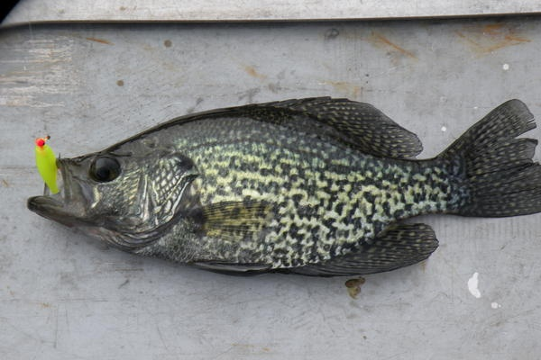 92 best crappie stringers images on pinterest crappie for Crappie fishing ohio