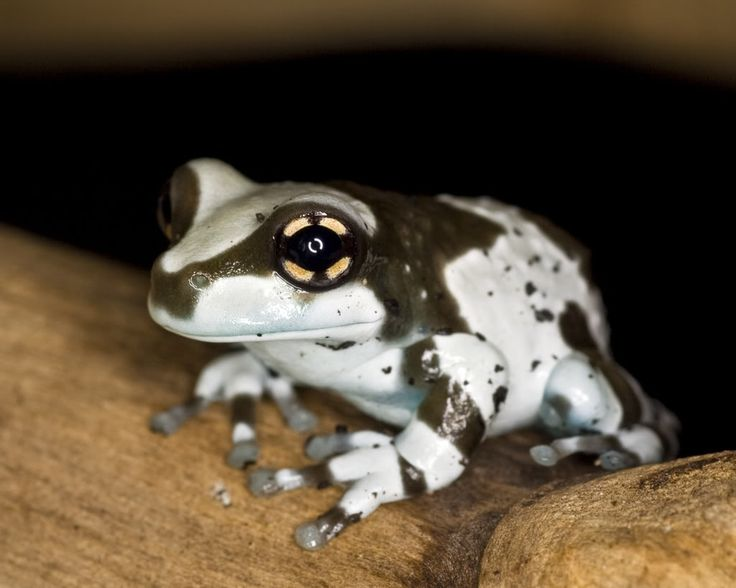 fortheloveofherpetology: Amazon Milk Frog (Trachycephalus resinifictrix)  Native to South America Their natural habitat is in hum…   Frog, Frog and  toad, Funny frogs