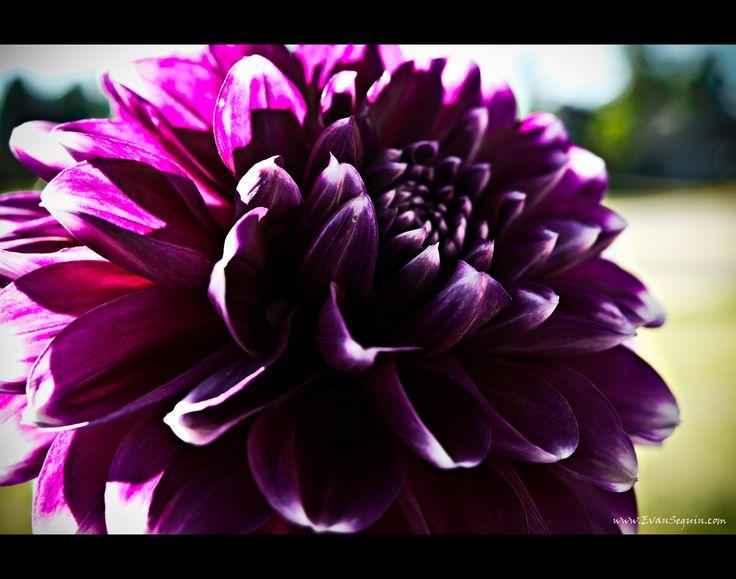les 22 meilleures images du tableau jp purple/red flowers sur