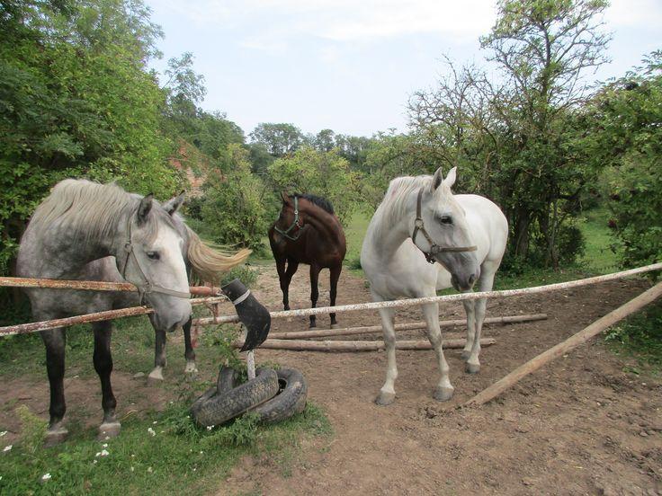 Koně v Chotouni