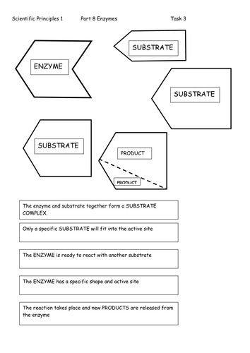 enzyme worksheet - Google Search | biology | Biology, Worksheets, Search
