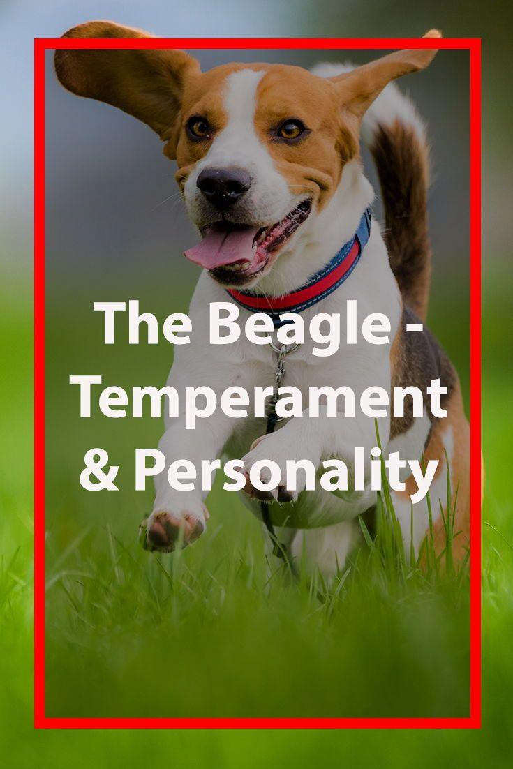 Beagle Dog Breed Information Beagle Dog Breed Beagle