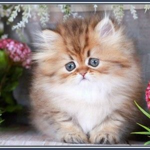 teacup persian kittens for sale - Google Search