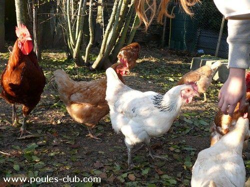 Voici comment introduire de nouvelles poules dans un groupe déjà en place ou comment faire la première fois pour qu'elles retrouvent le poulailler le soir.