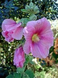 Les roses trémières : une belle floraison estivale