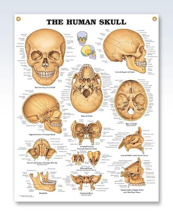 The Human Skull 20x26 Anatomy Poster