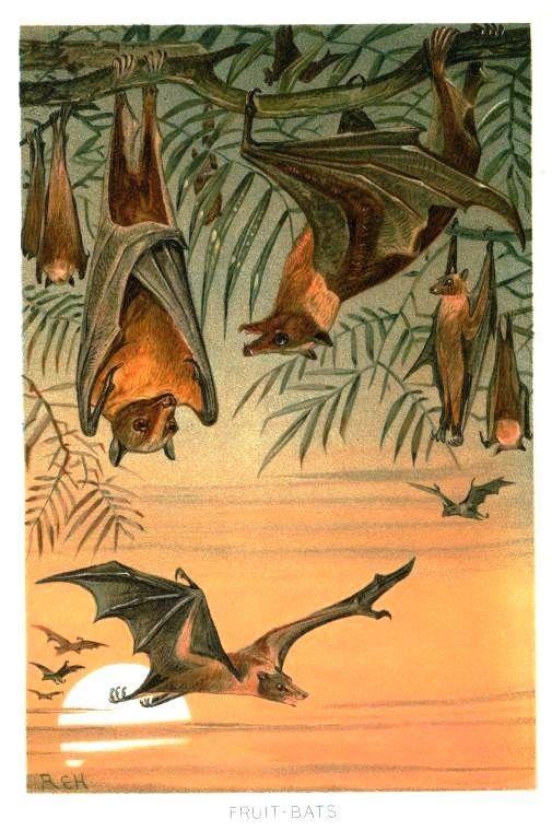 Animal - Bat - Illustration Art - Fruit bats