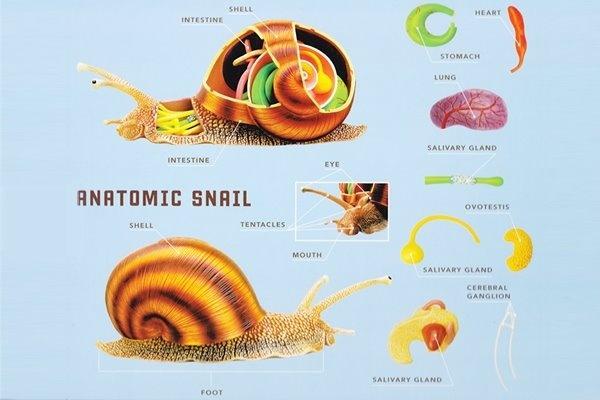 63 Best images about Snail unit on Pinterest   The bubble ...