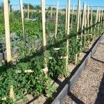 Caging tomato plants in a new way.