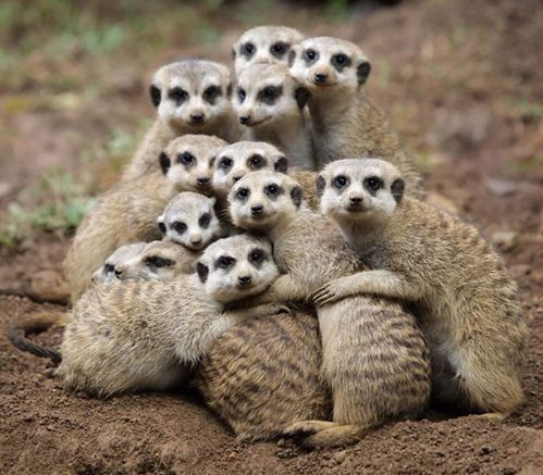 now that's what a call a group hug!  oh ow I love these cute little meerkats