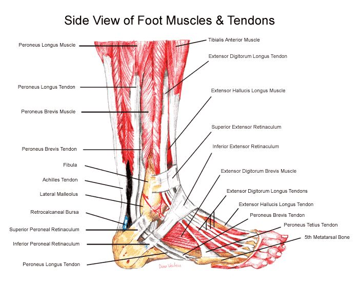 anatomy of ankle | the anterior tibial, which enables the foot to move upward;