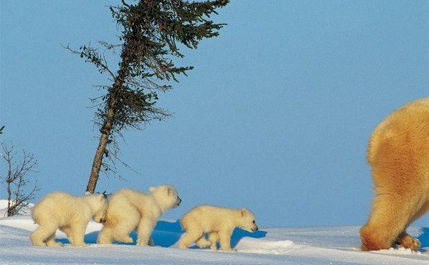 Ursos polares indo para o litoral do Canadá