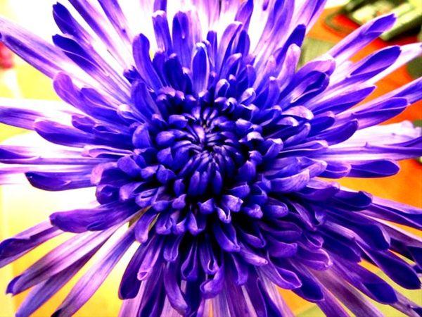 Yazoo Tinted Purple - Disbuds/Mums - Chrysanthemum - Flowers by ...