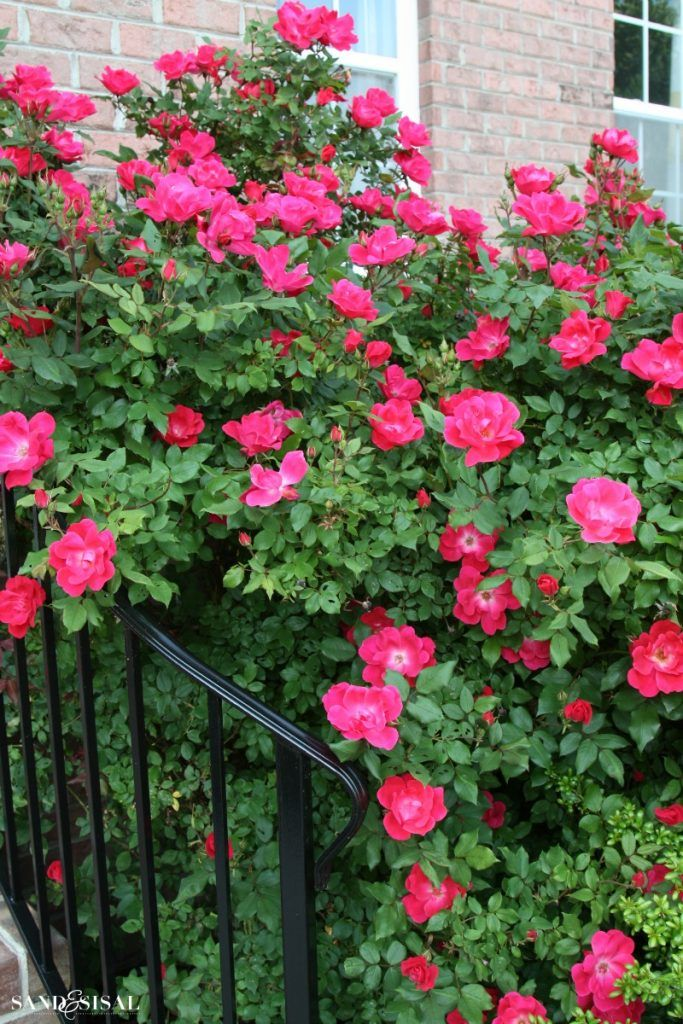 How And When To Prune Knock Out Roses Sand And Sisal Knockout Roses Rose Garden Design Double Knockout Roses