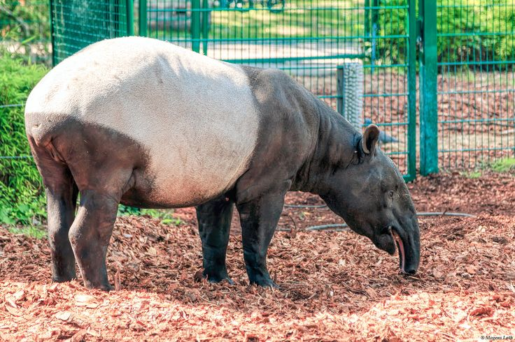 Tapir