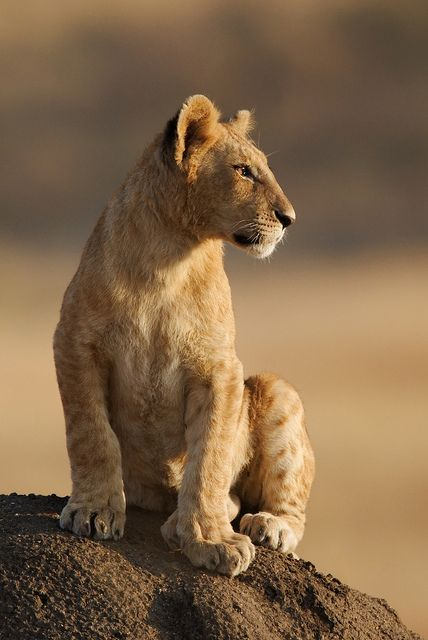 ~~A Lion Cub from the Paradise Pride  by Olivier DELAERE~~