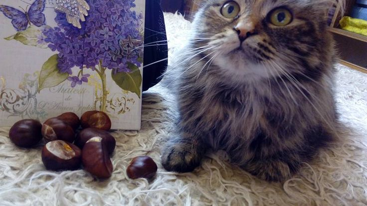 magic chestnuts, witch, samhain, witchy cat, halloween,