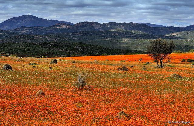 Namaqualand wildflower carpet | The wildflower daisy carpet … | Flickr