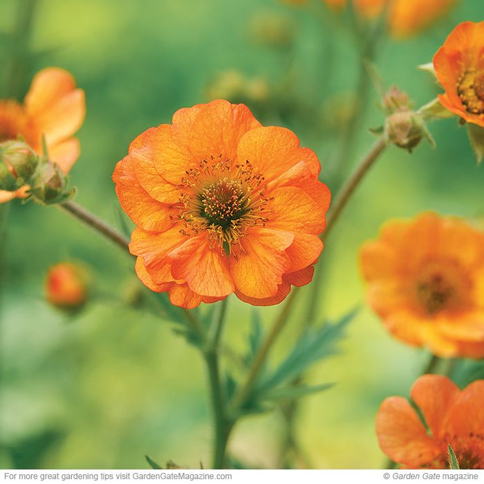 Totally Tangerine geum Geum hybrids. Type: Perennial. Blooms: Semidouble sterile orange flowers in early summer. Light: Full sun to part shade. Soil:  Moist, well-drained. Size: 30 in. tall, 18 in. wide. Cold-hardy USDA zones 4 to 7. Heat-tolerant AHS zones 9 to 1