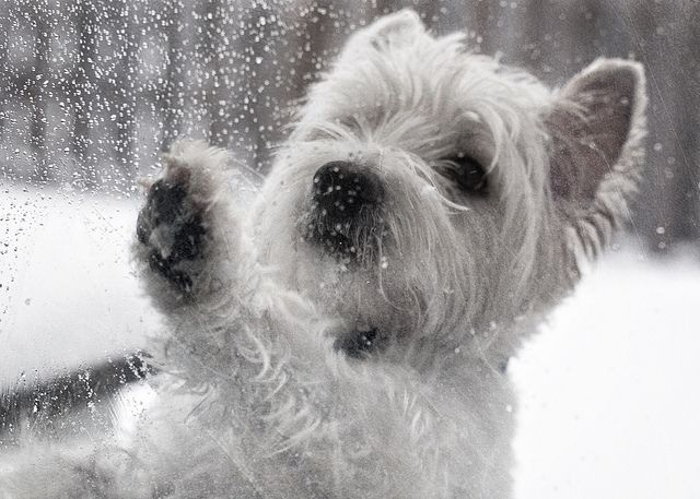West Highland Terrier playing with the snow!                                                                                                                                                                                 More