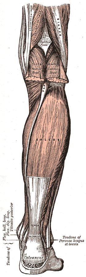 Illustrations. Fig. 438. Gray, Henry. 1918. Anatomy of the Human Body.