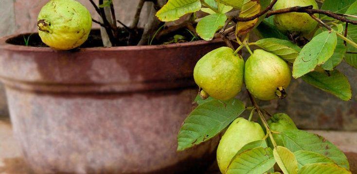 ¿Qué frutales puedo cultivar en maceta?