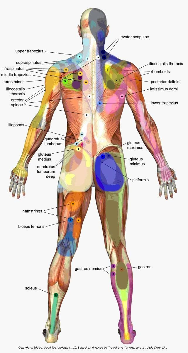 65 best images about muscular and trigger points on pinterest, Muscles