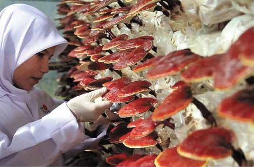 Dxn chega ao Brasil com os produtos para Ganoderma Reishi - Dxn Ganoderma - Reishi Biologico