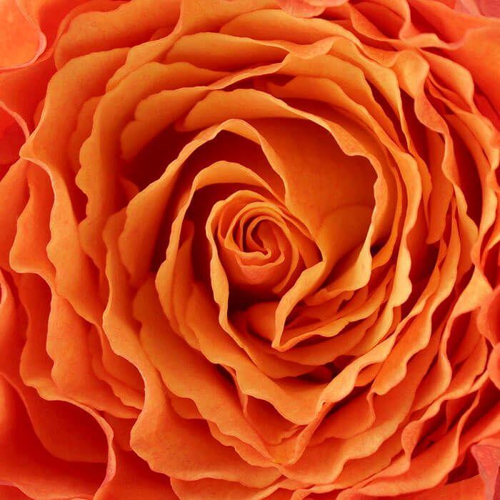 Of het nou op koningsdag, met oranje voetbal of zomaar een cadeau aan je geliefde of familie is. Een oranje roos doet het altijd goed. Deze foto is bijzonder geschikt voor iedereen die van bloemen houdt en de natuur in huis wil halen.