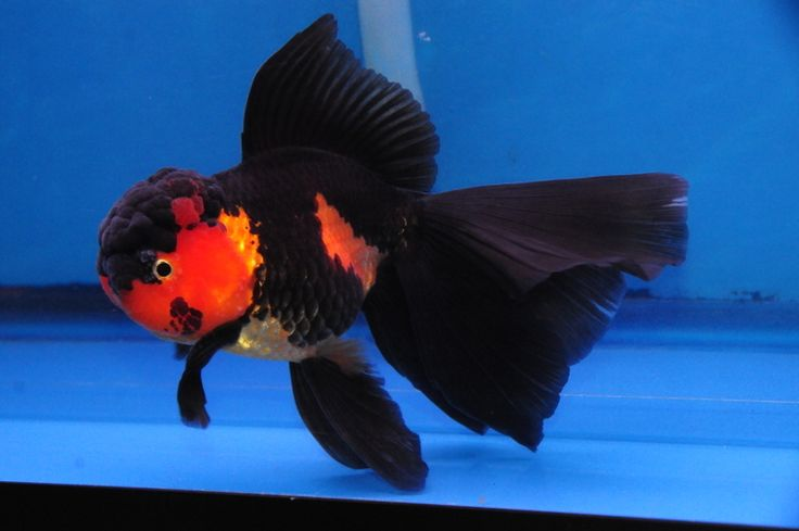 Red/Black Oranda » DandyOrandas.com this is the best site for fancy goldfish
