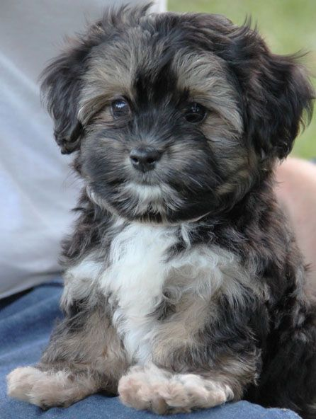 Pin By Manisha Seth On 2016 Puppies Havanese Puppies