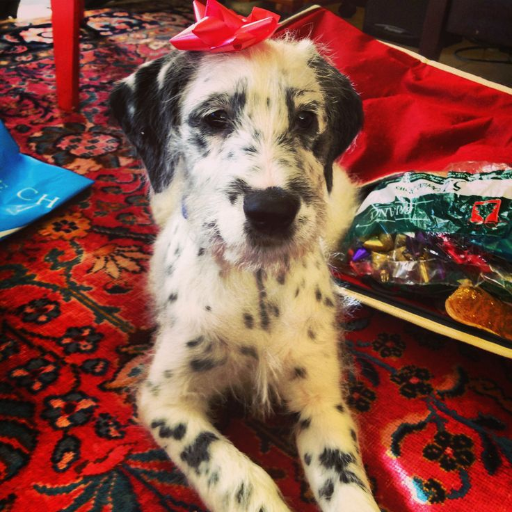 Dalmatian Irish Wolfhound mix #dalmatian #irishwolfhound #puppy