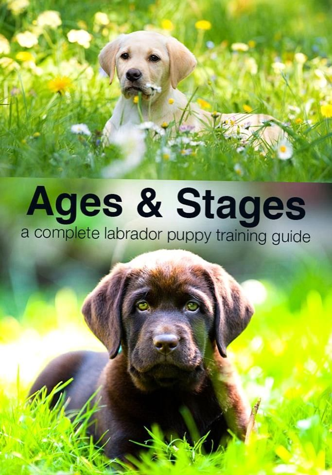 Wondering What Your Puppy Should Be Doing At 4 Months Or 5 Months From 8 Weeks On Our Pupp In 2020 Labrador Puppy Training Puppy Training Guide Puppy Training Schedule