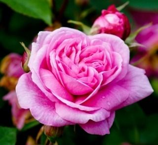 Sekuntum mawar merah muda, satu tanda cinta�� . . . #rose #lovely #pink #flowers #flower #petal #petals #nature #beautiful #love #pretty #plants #blossom #spring #summer #flowerstagram #flowersofinstagram #flowerstyles_gf #flowerslovers #flowerporn #botanical #floral #florals #insta_pick_blossom #flowermagic #instablooms #bloom #blooms #botanical #floweroftheday http://gelinshop.com/ipost/1520333661286017638/?code=BUZT2jtBapm