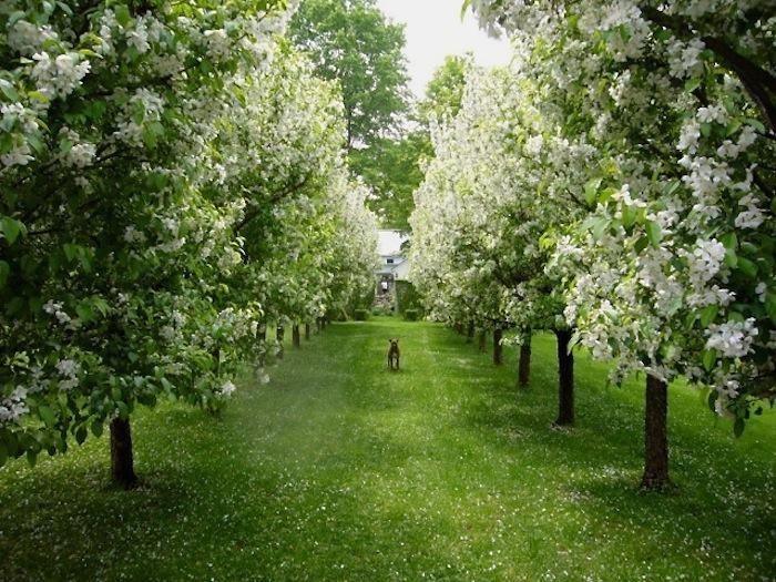 allee of 'Donald Wyman' crabapple trees - Richmond, Massachusetts