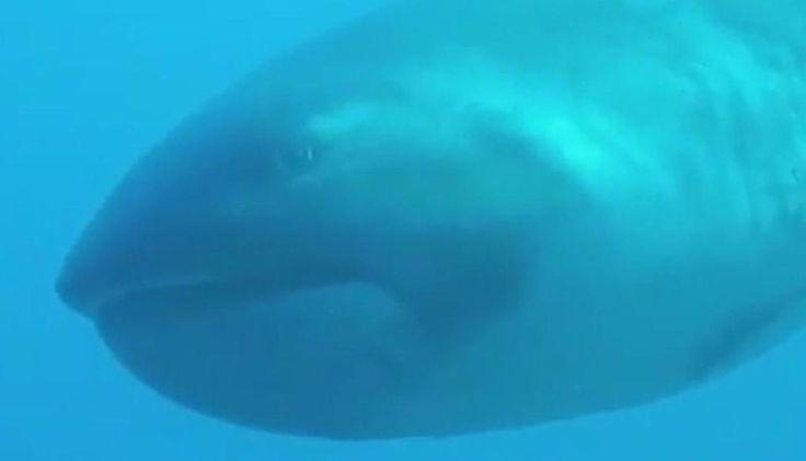 VIDEO: Una turista filma a uno de los tiburones más raros del mundo: El tiburón de boca ancha es uno de los animales más elusivos, y poco…