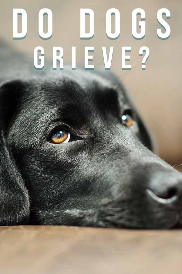 Dog Grief Do Dogs Mourn For Lost Owners Or Other Pets In 2020 Dog Grief Dogs Dog Behavior