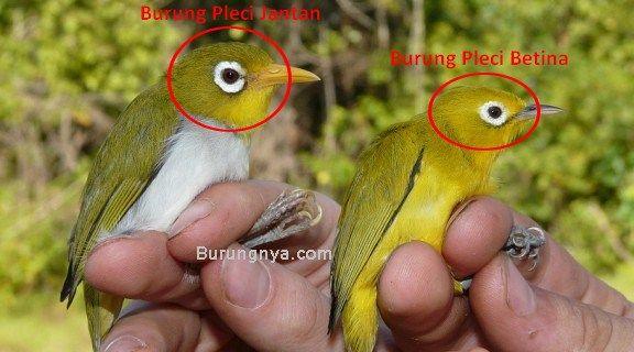 Beda Burung Pleci Jantan dan Betina (biodiversityscience.com)