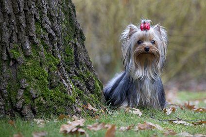 Elevage de chiens yorkshire - Chiot yorkshire                                                                                                                                                                                 Plus