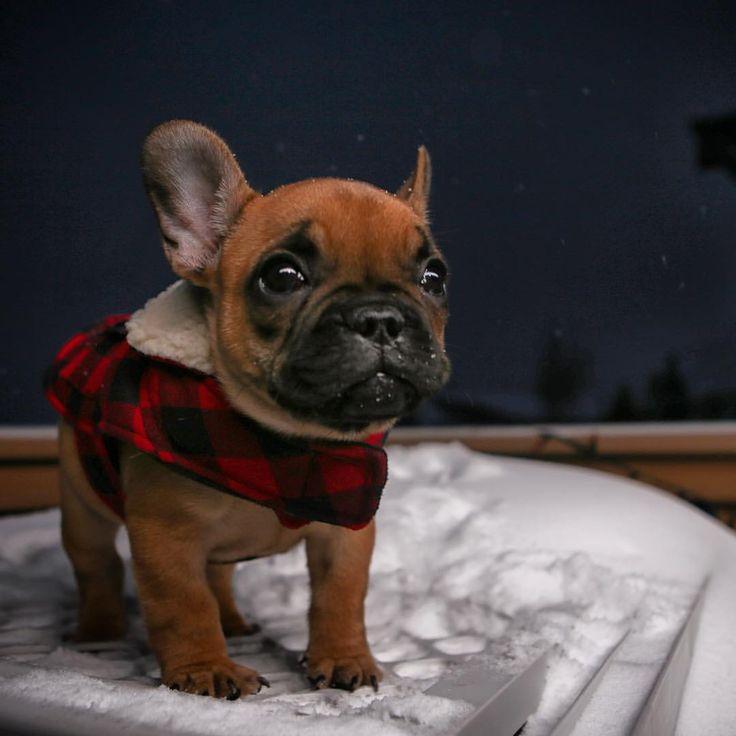 Winter French Bulldog Puppy❤️❄️