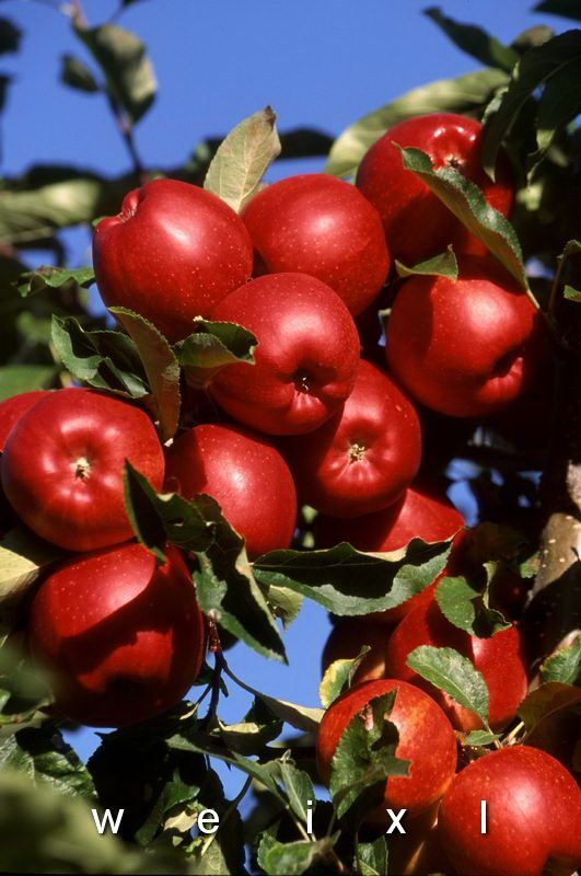Apple orchards of the Okanagan Valley - Vernon, British Columbia, Canada