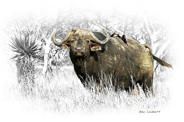 Buffalo Vull | Canvas Prints | Order Online at ngunigalore.com - Delivery is FREE to anywhere in SA!