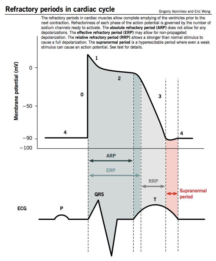 AP of Cardiac Muscle & ECG