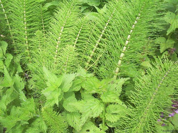 Böbreklerin İşlevini Arttıran Bitkiler    Böbreklerin çalışmasını arttırmak mümkün. Buna yardımcı olan bitkiler bulunmaktadır.    At kuyruğu ya da kırk kilit otu diye bilinen bitki başta gelmektedir. Yüksek miktarda silisyum içerir ve böbrekleri çalıştırır. İdrar söktürücü etkisi vardır. Çok fazla kullanılmaması önerilir. Böbrek tembelliği olan durumlarda geçici destek olarak kullanılır.