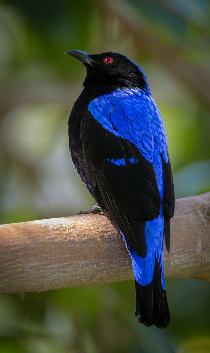 The  fairy-bluebird is a  small passerine bird specie found in forests and plantations in tropical southern Asia and the Philippines./ by Robert Burk)