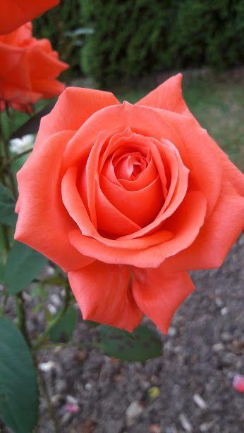 Orange Rose                                                                                                                                                                                 More