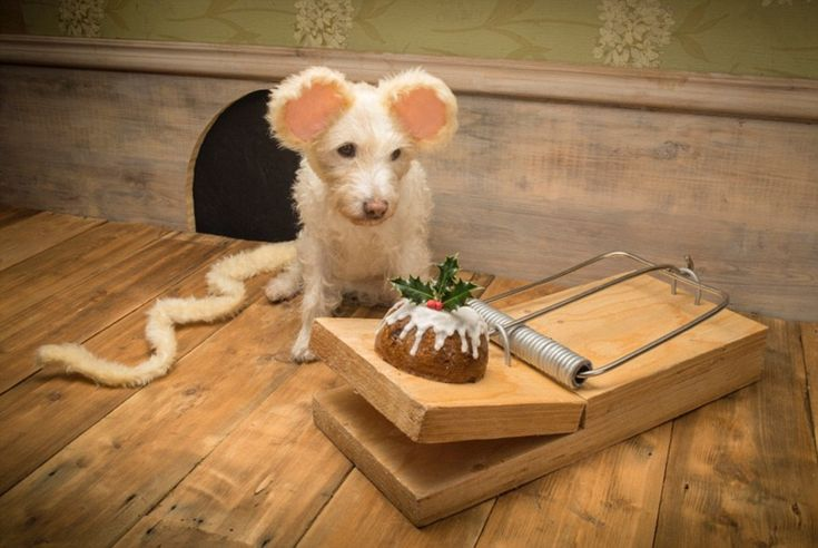 Don't snap at me: Raggle looks the part but isn't tempted by a pud on the giant fake mouse trap